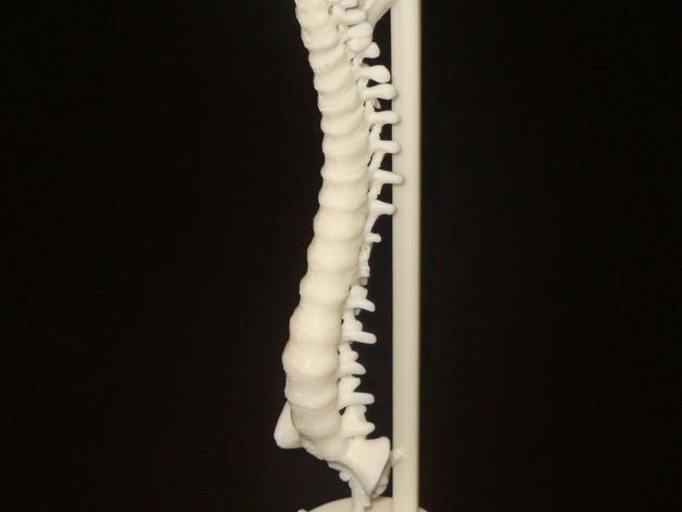 sản phẩm in bộ xương người hoàn thiện